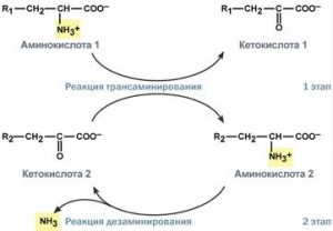 Катаболизм аминокислот