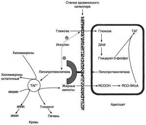 Депонирование жиров в жировой ткани