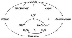 Метаболизм этилового спирта