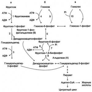 Обмен фруктозы и галактозы