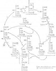 Пентозофосфатный (фосфоглюконатный) путь