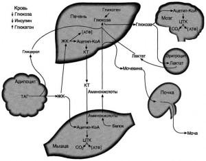 Регуляция смены абсорбтивного и постабсорбтивного состояний инсулином и глюкагоном