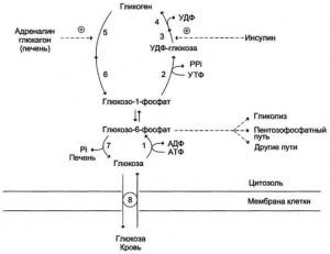 Синтез и мобилизация гликогена в мышцах