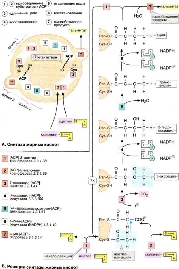 Биосинтез жирных кислот