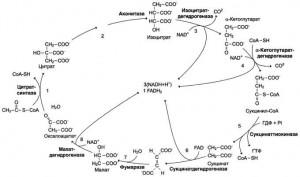 Анаболические функции цитратного цикла