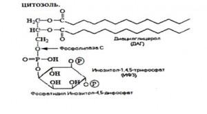 Путь ДАГ-протеинкиназа С
