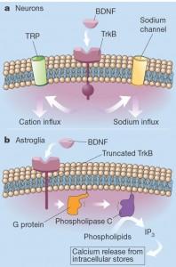 Внутриклеточные рецепторы