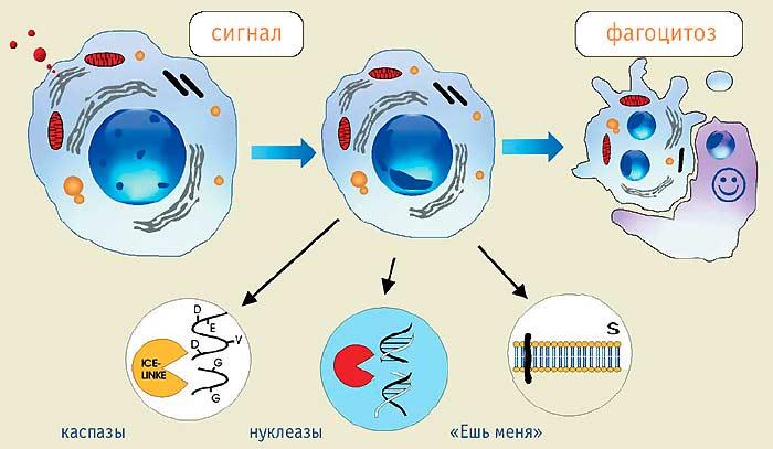 Лечение кислородом сперматозоидов
