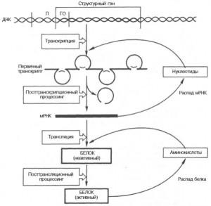Регуляция действия генов у эукариот