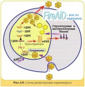 Особенности репликации вирусного генома