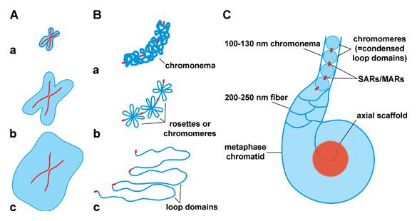 Негистоновые белки хромосом