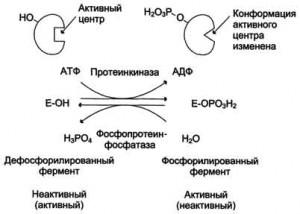Регуляция ферментов путем их фосфорилирования — дефосфорилирования
