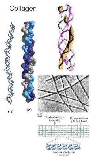 Фибриллярные белки