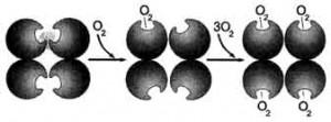 Кооперативные изменения конформации протомеров