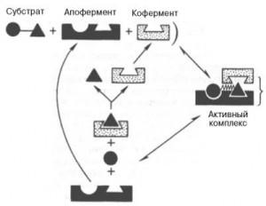 Механизмы действия ферментов