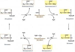 Реакции трансаминирования