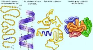 Первичная структура белков